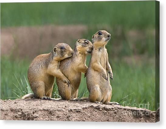 Canvas Print featuring the photograph Relaxing Utah Prairie Dogs Cynomys Parvidens Wild Utah by Dave Welling