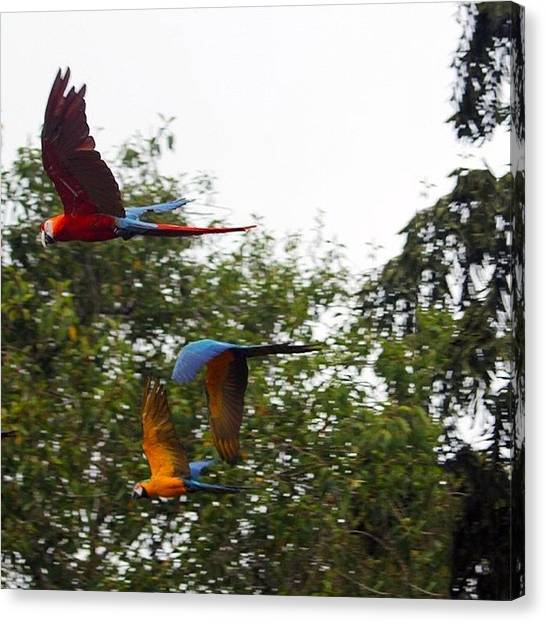 Macaws Canvas Print - Release The  #macaws #zoo #birds by Craig Price