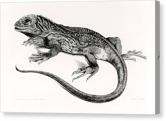 Iguanas Canvas Print - Reptile by English School