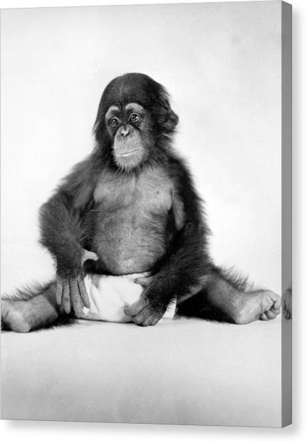 Yale University Canvas Print - Research Chimp At Yale Labs by Underwood Archives