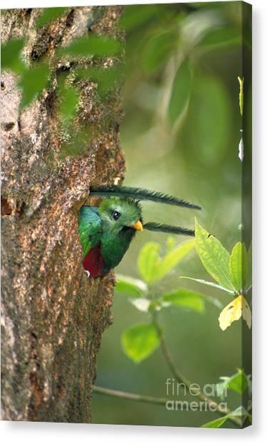 Monteverde Canvas Print - Resplendent Quetzal by Gregory G. Dimijian