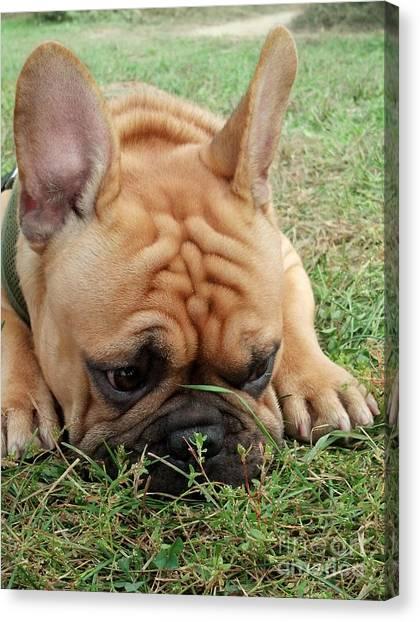 Rest- French Bulldog Canvas Print