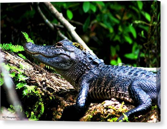 Resting Alligator  Canvas Print