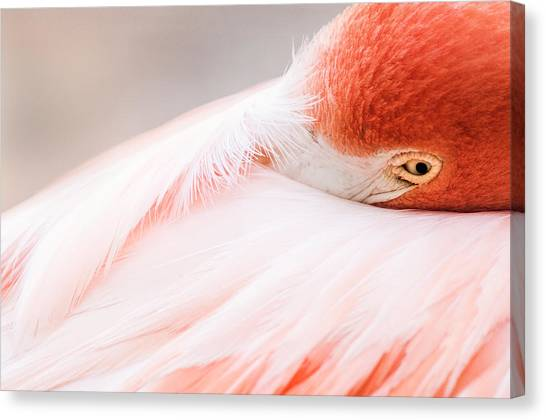 Resting Flamingo Canvas Print