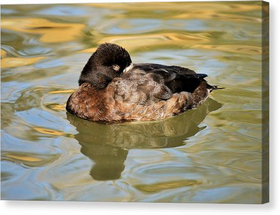 James Lewis Canvas Print - Resting Hen Scaup by James Lewis