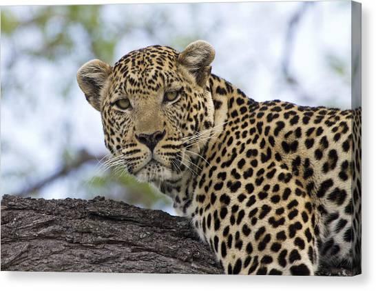 Okavango Swamp Canvas Print - Resting Leopard Okavango Delta Botswana by Dickie Duckett