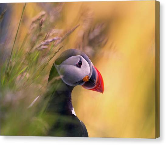 Puffins Canvas Print - Resting Puffin by Bj?rn A Hveding