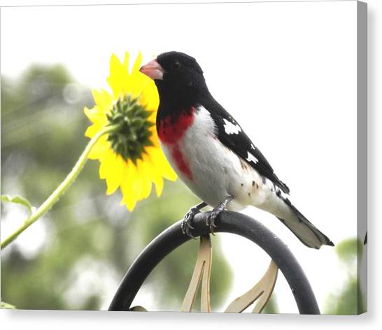 Resting Rose Breasted Grosbeak Canvas Print