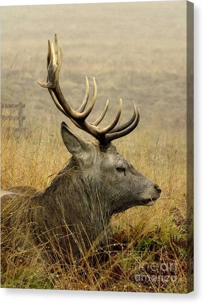 Resting Stag Canvas Print