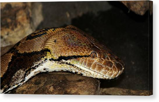 Reticulated Pythons Canvas Print - Reticulated Python by David Byron Keener