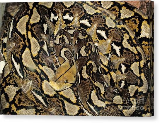 Reticulated Pythons Canvas Print - Reticulated Python by Nature's Images