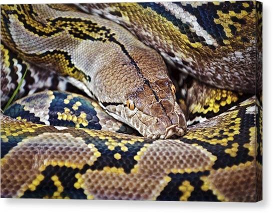 Reticulated Pythons Canvas Print - Reticulated Python by Patrick M Lynch