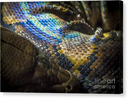 Reticulated Pythons Canvas Print - Reticulated Python With Rainbow Scales 2 by Clare Bambers