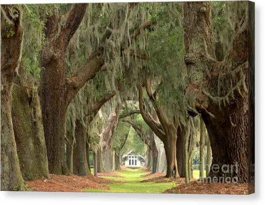 Retreat Avenue Of The Oaks Canvas Print