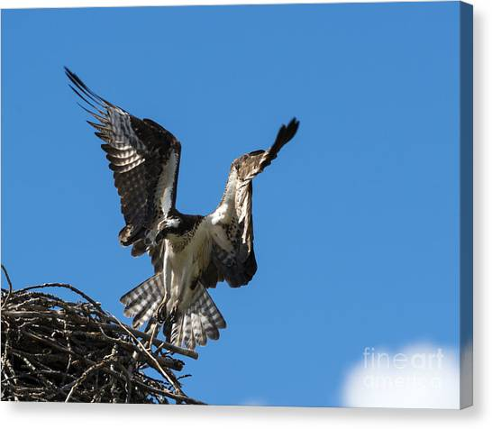 Osprey Canvas Print - Returning To The Nest by Mike Dawson