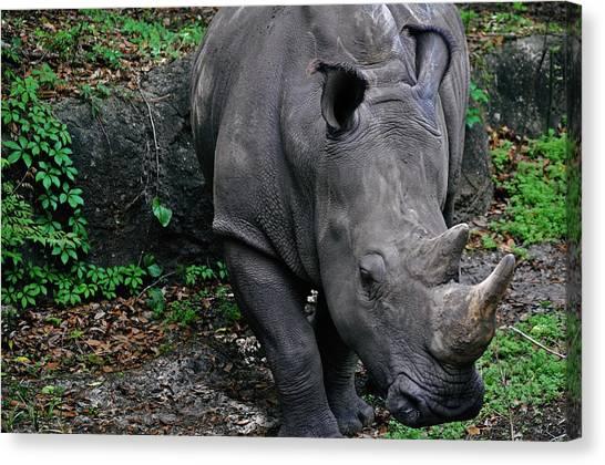 Rhino Canvas Print by Rachael M