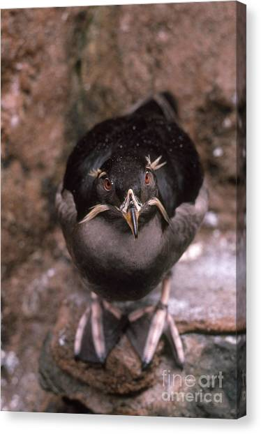 Auklets Canvas Print - Rhinoceros Auklet by Art Wolfe