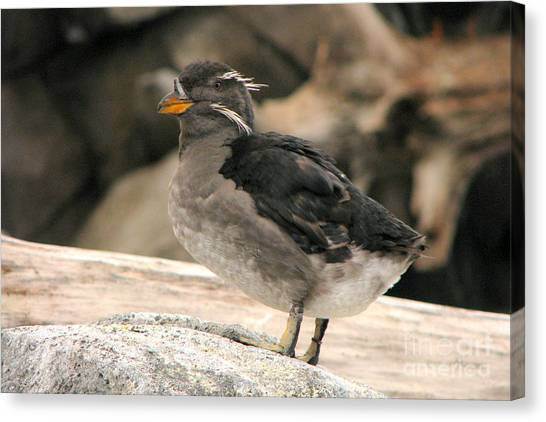 Auklets Canvas Print - Rhinoceros Auklet by Frank Townsley