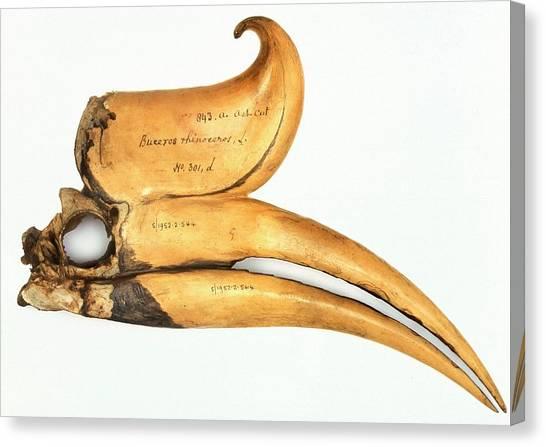 Hornbill Canvas Print - Rhinoceros Hornbill Skull by Natural History Museum, London/science Photo Library