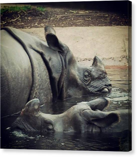 Rhinos Canvas Print - #rhinoceros #rhino #bathing #bath by Siobhan Macrae