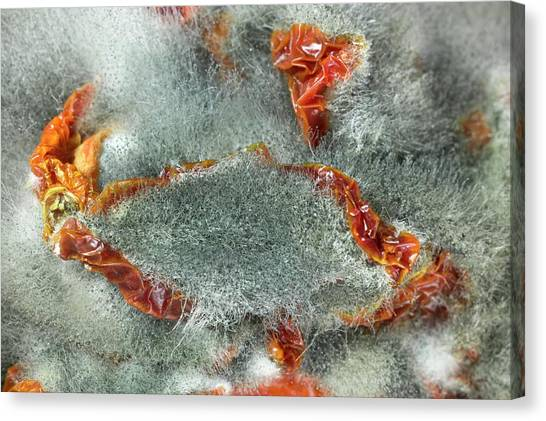 Rhizopus Stolonifer On Sundried Tomatoes Canvas Print by Dr Jeremy Burgess