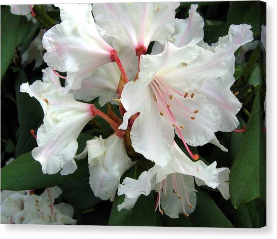 Rhododendron 1 Canvas Print
