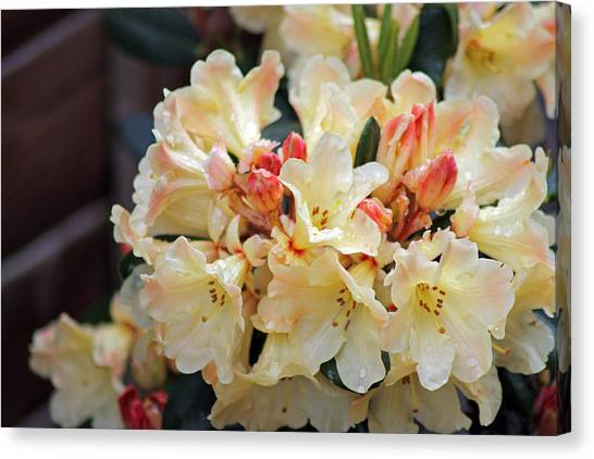 Rhododendron Nancy Evans Canvas Print