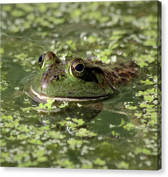 Bullfrogs Canvas Print - Ribbit by Kim Hojnacki