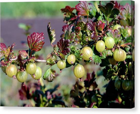 University Of Virginia Canvas Print - Ribes Uva-crispa by The Picture Store/science Photo Library