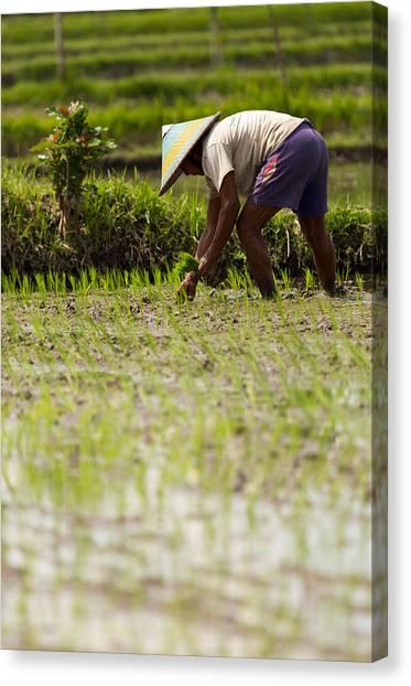 Rice Farmer - Bali Canvas Print