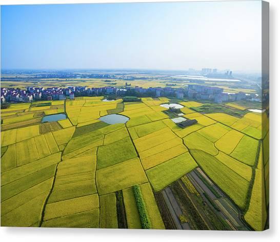 Rice Field Canvas Print by Yangna