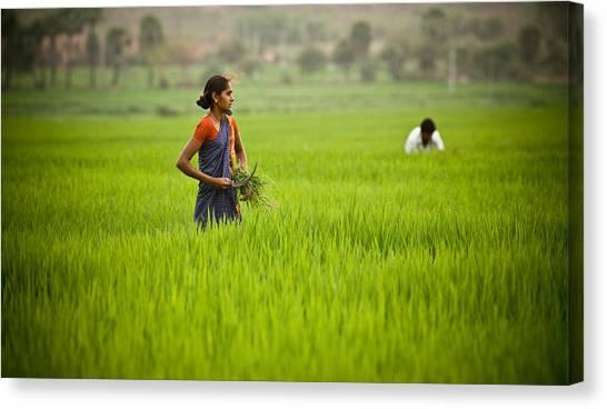 Rice Harvest Canvas Print