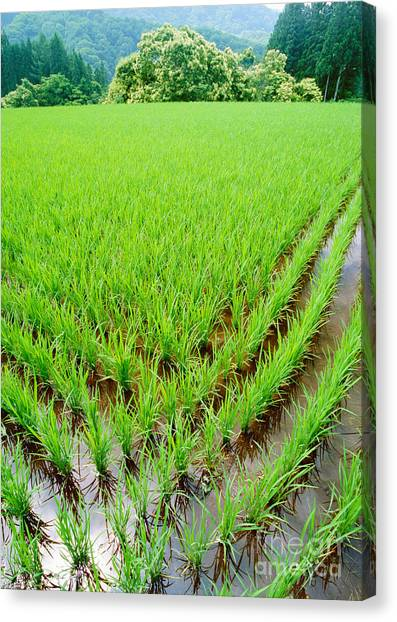 Rice Paddy Canvas Print