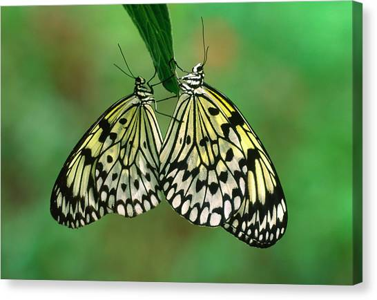 Behaviour Canvas Print - Rice Paper Butterflies Mating by Nigel Downer