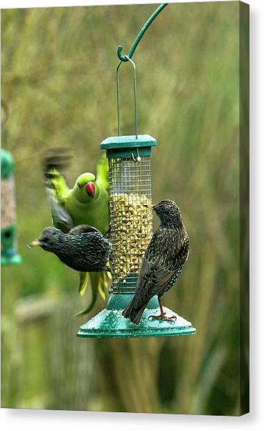 Parakeets Canvas Print - Ring-necked Parakeet And Starlings On A Bird Feeder by Georgette Douwma/science Photo Library