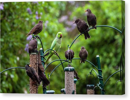 Parakeets Canvas Print - Ring-necked Parakeet And Starlings On Bird Feeders by Georgette Douwma/science Photo Library