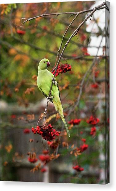 Parakeets Canvas Print - Ring-necked Parakeet In A Tree by Georgette Douwma/science Photo Library