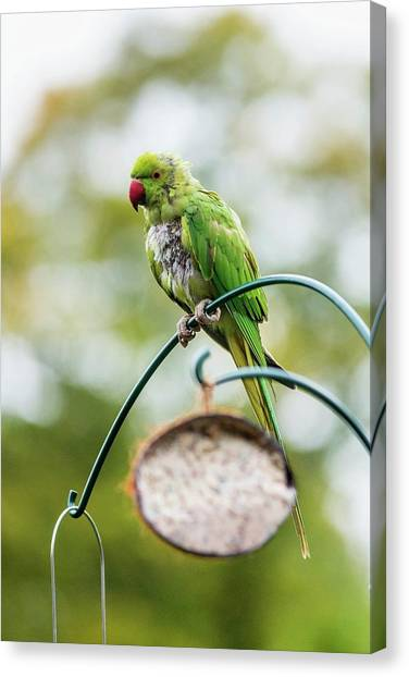 Parakeets Canvas Print - Ring-necked Parakeet On A Bird Feeder by Georgette Douwma/science Photo Library