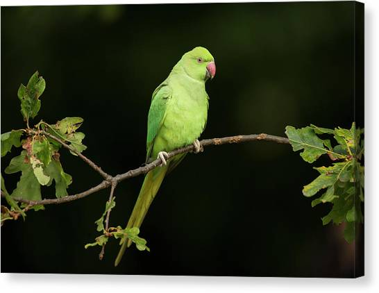 Parakeets Canvas Print - Ring-necked Parakeet by Simon Booth/science Photo Library
