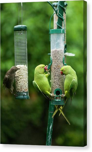 Parakeets Canvas Print - Ring-necked Parakeets And Starling On Bird Feeders by Georgette Douwma/science Photo Library