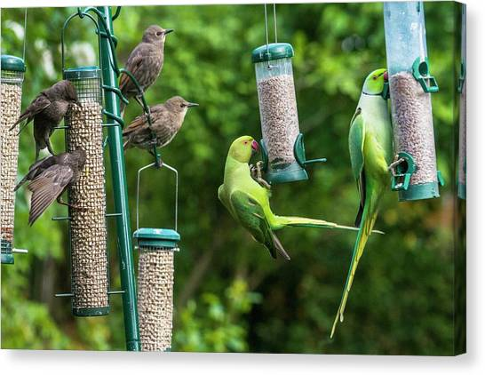 Parakeets Canvas Print - Ring-necked Parakeets And Starlings On Bird Feeders by Georgette Douwma/science Photo Library