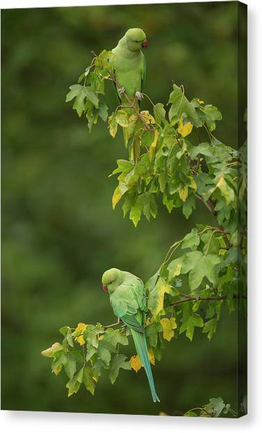 Parakeets Canvas Print - Ring-necked Parakeets by Simon Booth/science Photo Library