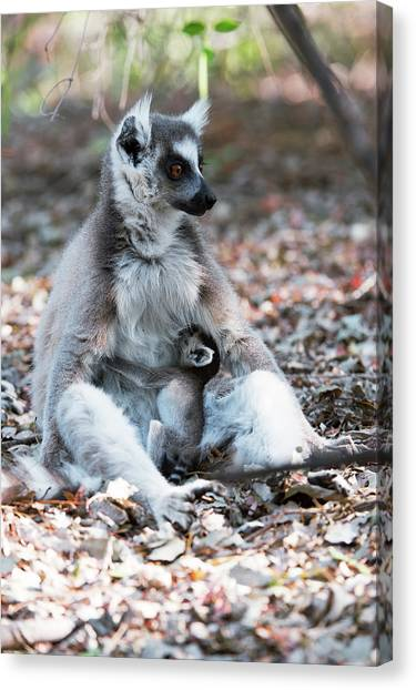 Ring-tailed Lemur And Baby Canvas Print by Dr P. Marazzi