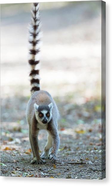 Ring-tailed Lemurs Canvas Print - Ring-tailed Lemur by Dr P. Marazzi
