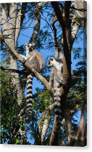 Ring Tailed Lemurs Canvas Print - Ring Tailed Lemur (lemur Catta by Keren Su