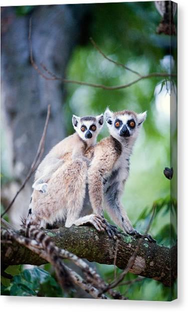 Lemurs Canvas Print - Ring-tailed Lemur Lemur Catta by Panoramic Images