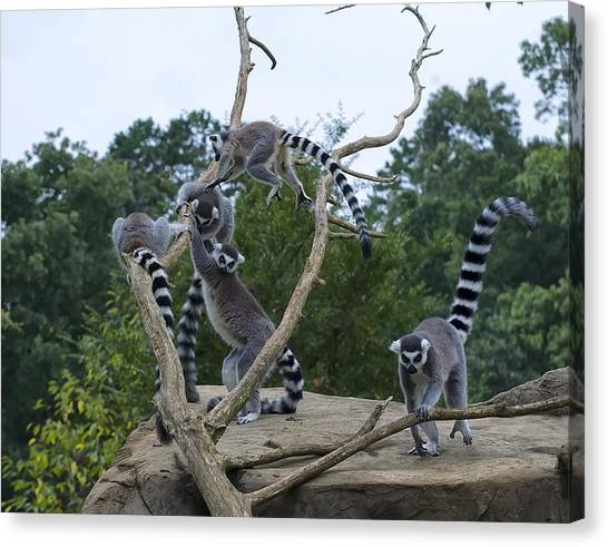 Ring Tailed Lemur Canvas Print - Ring Tailed Lemurs Playing by Chris Flees