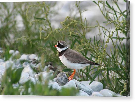 Ringed Plover On Rocky Shore Canvas Print