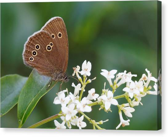 Ringlet Butterfly Canvas Print