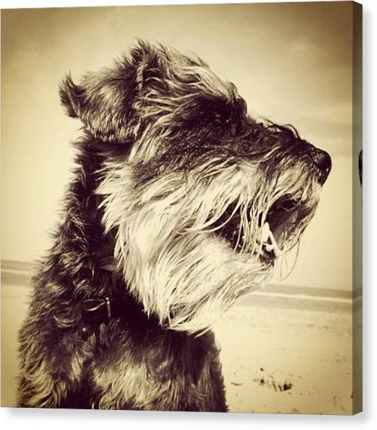 Schnauzers Canvas Print - R.i.p Beau! Best Pooch Ever!! by Laurena Pascoe